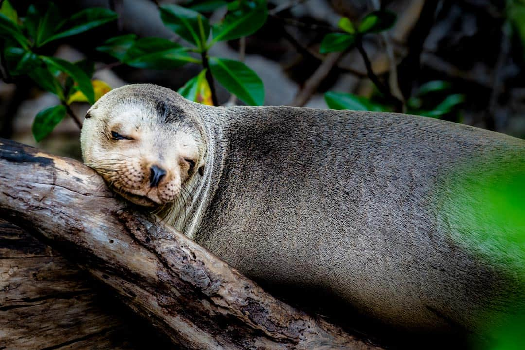 Isabella Sea Lion In Tree Galapagos Islands Pictures