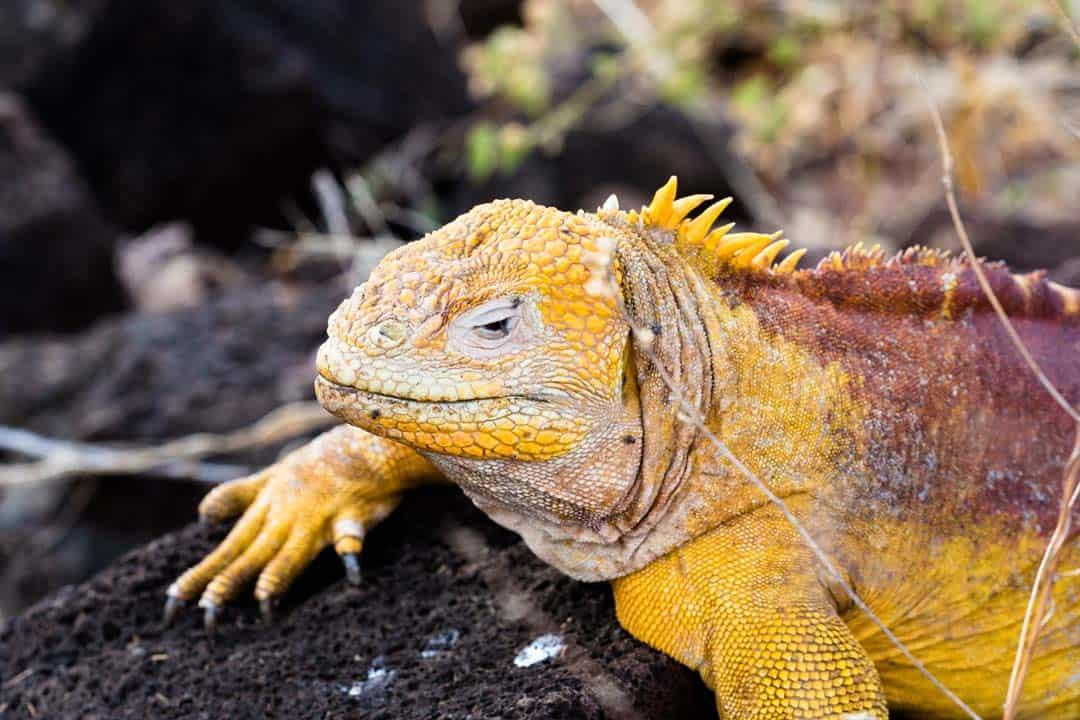 Land Iguana Galapagos Islands Pictures