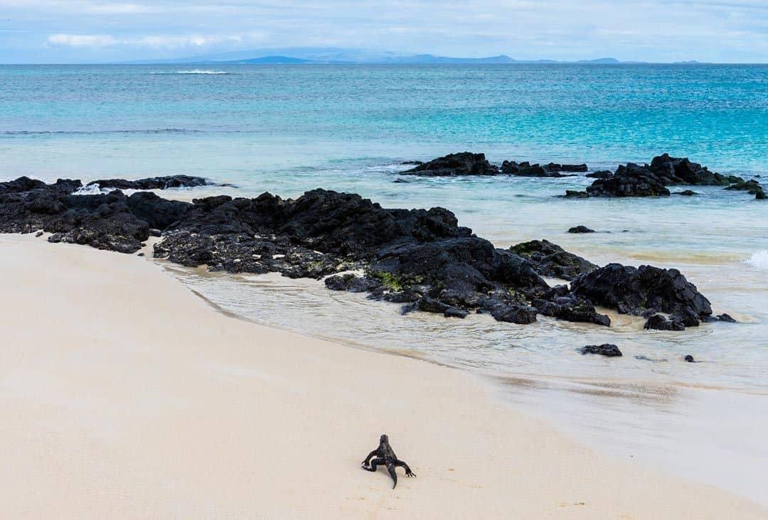 Santa Cruz Marine Iguana Galapagos Islands Pictures