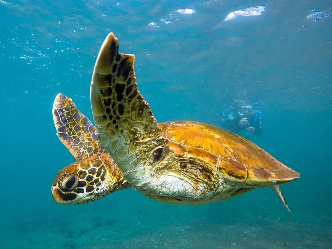 Sea Turtles Galapagos Islands Pictures