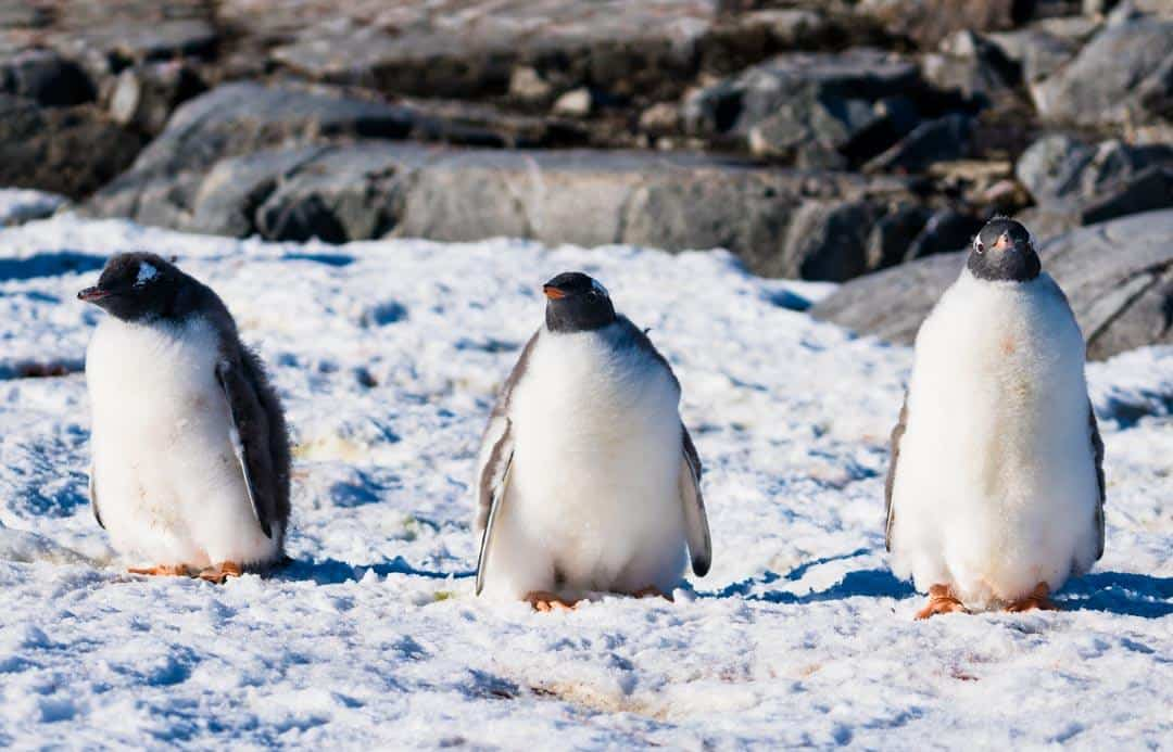 Penguins Things To Do In Antarctica