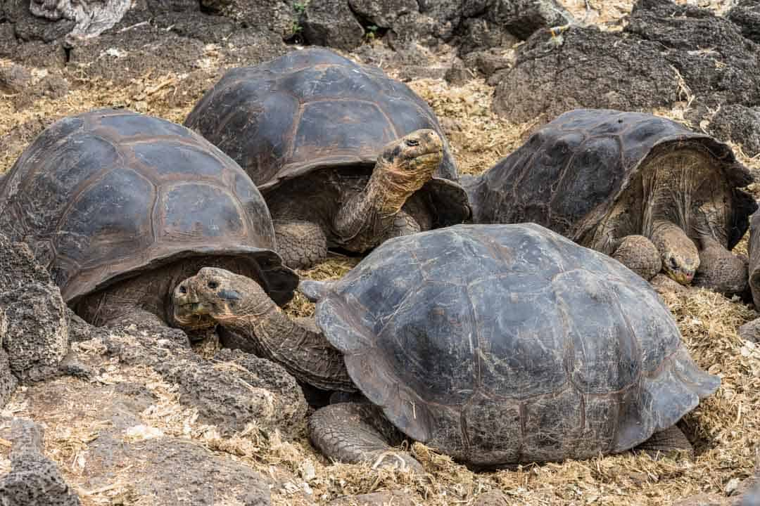 Tortoises Charles Darwin Research Station Letty Galapagos Islands Ecoventura Itinerary B Review
