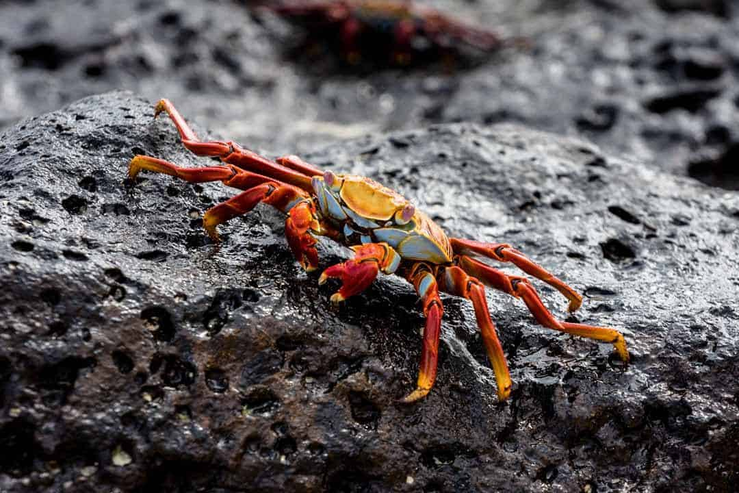 Red Crab Letty Galapagos Islands Ecoventura Itinerary B Review