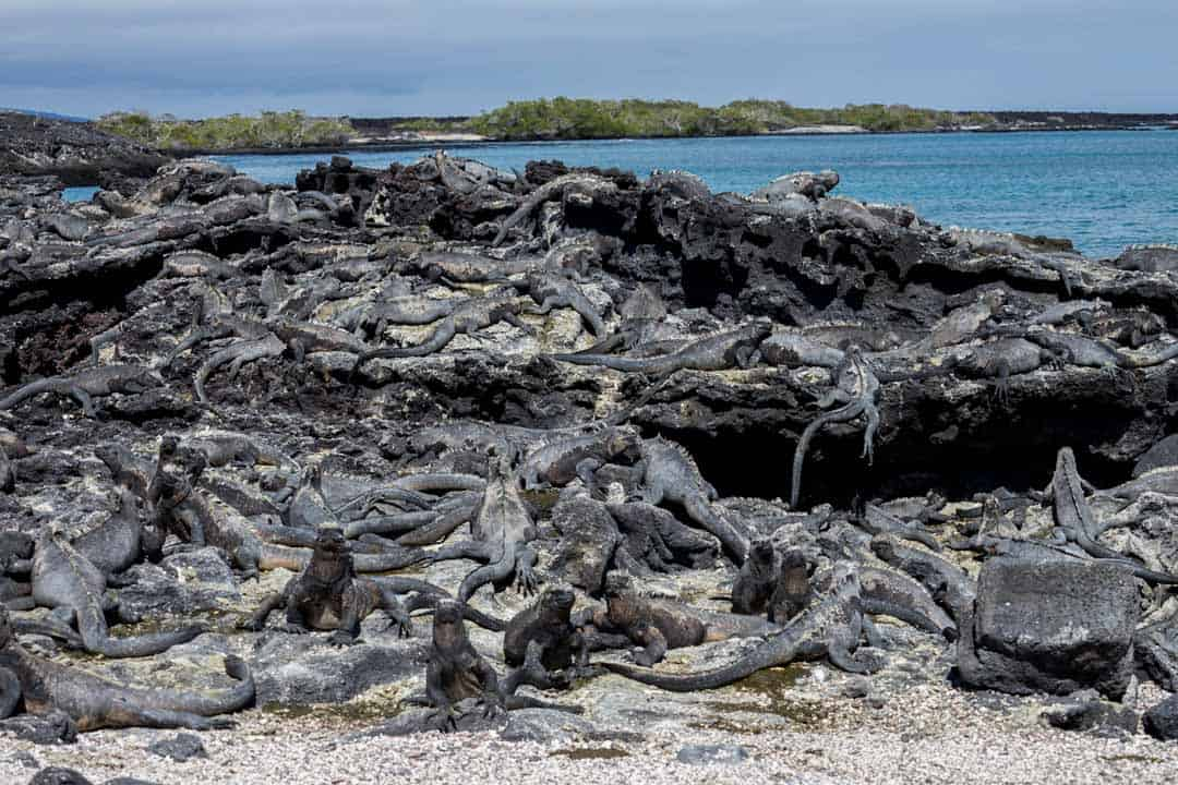 Marine Iguanas Fernandina Letty Galapagos Islands Ecoventura Itinerary B Review