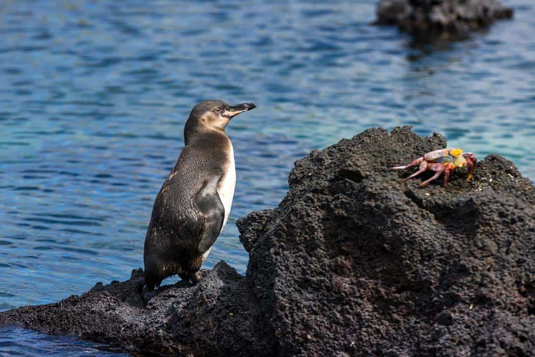 Penguin Letty Galapagos Islands Ecoventura Itinerary B Review