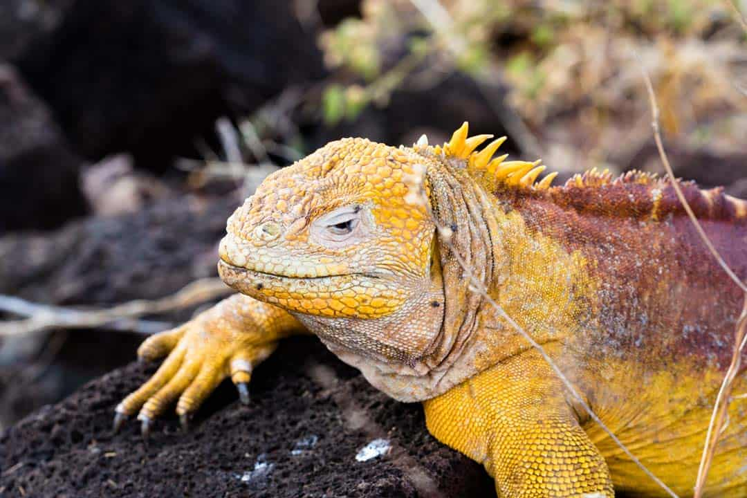 Land Iguana Letty Galapagos Islands Ecoventura Itinerary B Review