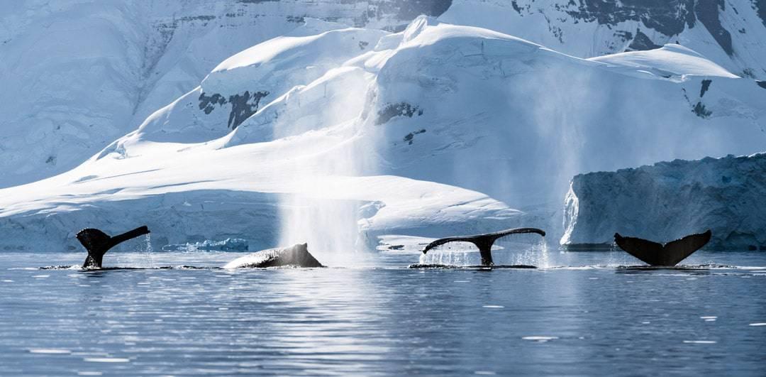 4 humpback whales antarctica nomadasaurus adventure for How can i travel to antarctica