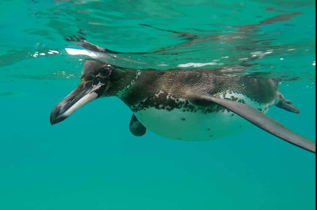 Penguin Up Close Ecoventura Itinerary A Review Origin Galapagos Islands