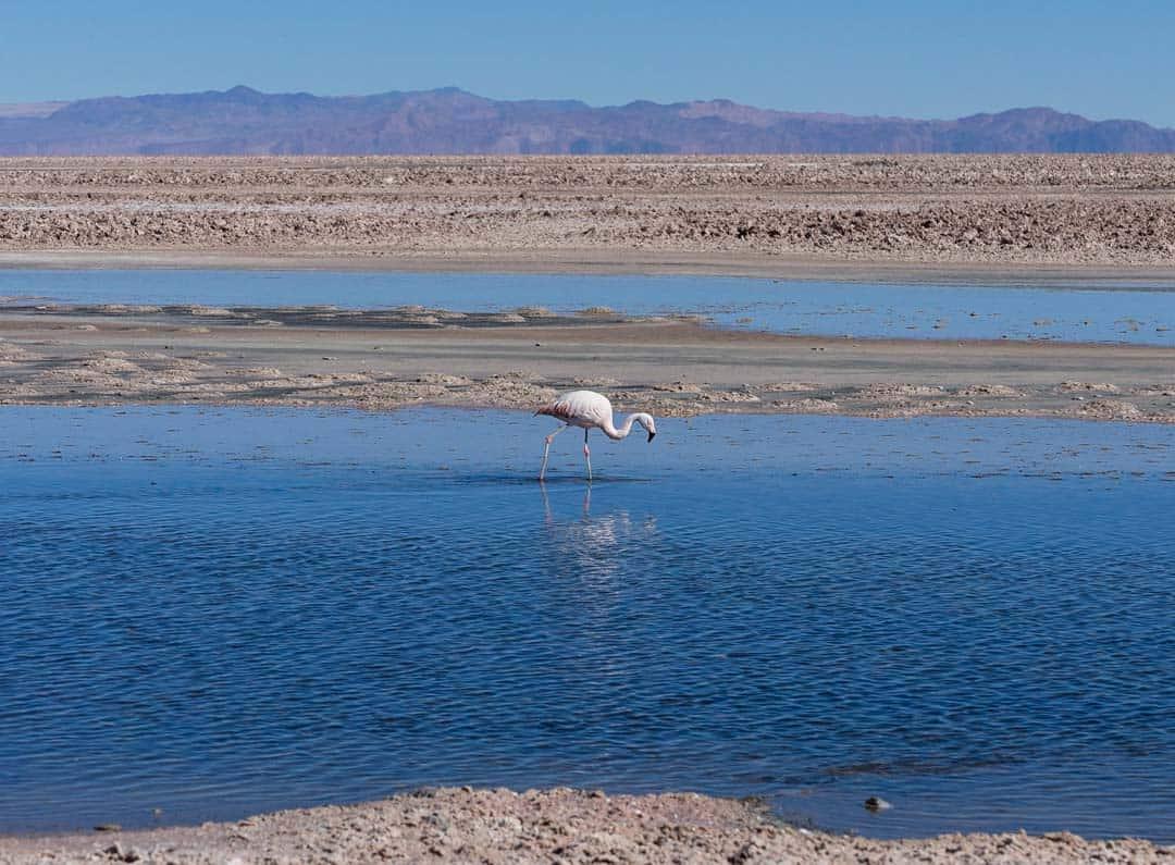 Flamingos Laguna Chaxa Atacama Desert
