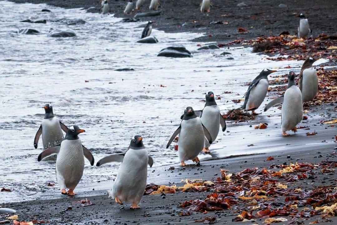 Penguins Running Antarctica