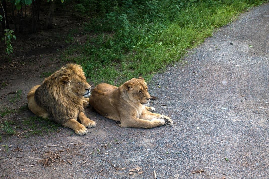 African Lions Harbin Siberian Tiger Park