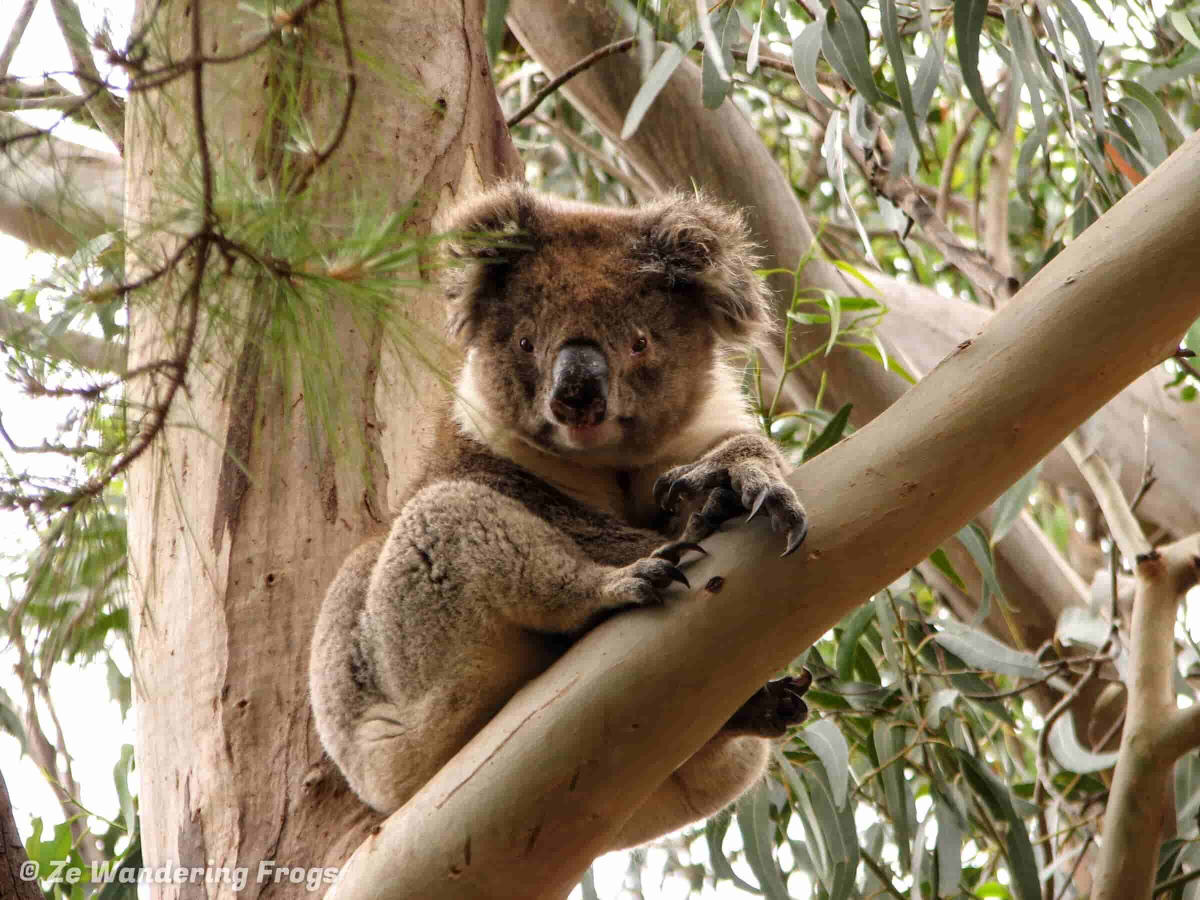 Koala Bear On Kangaroo Island
