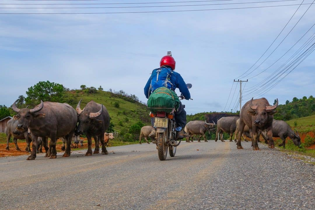 Motorbiking With Buffalos