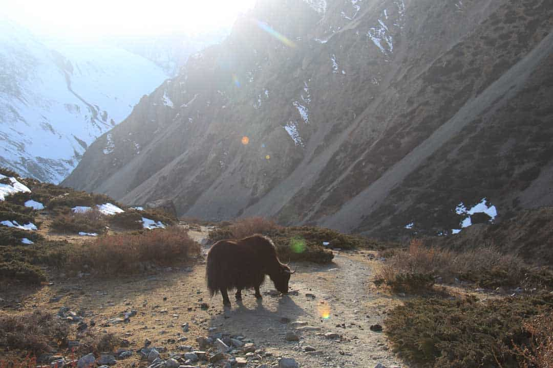 Mardi Himal Yak