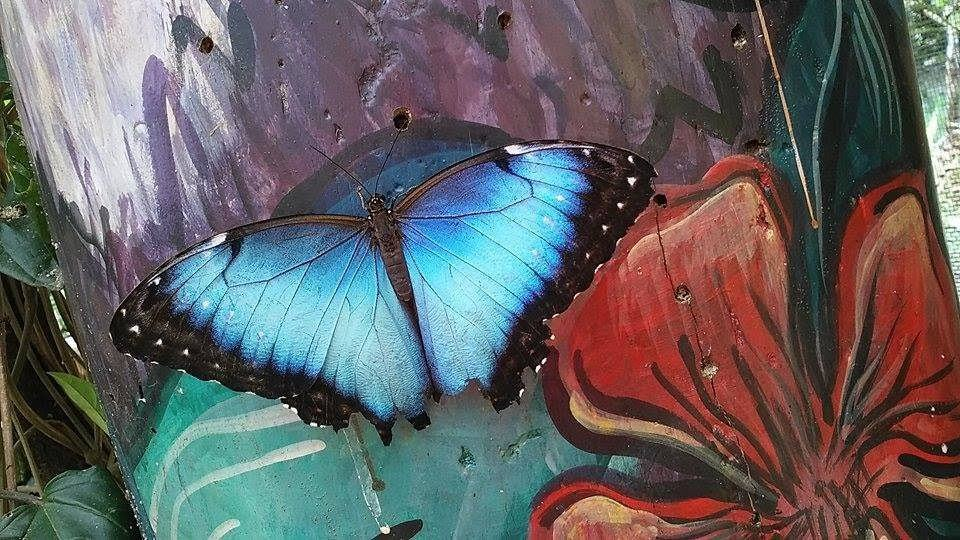 Things To Do In Mindo, Blue Butterfly