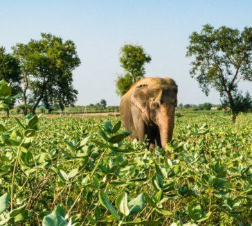 Elephant Tourism in India