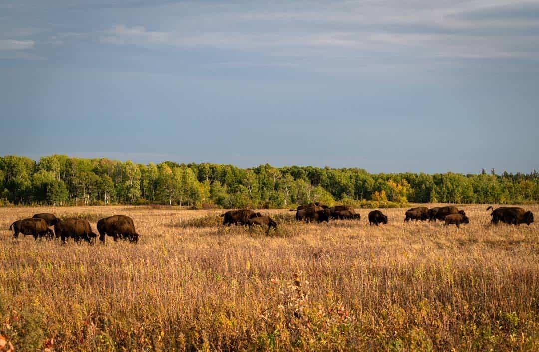 Lake Audy Bison Enclosure
