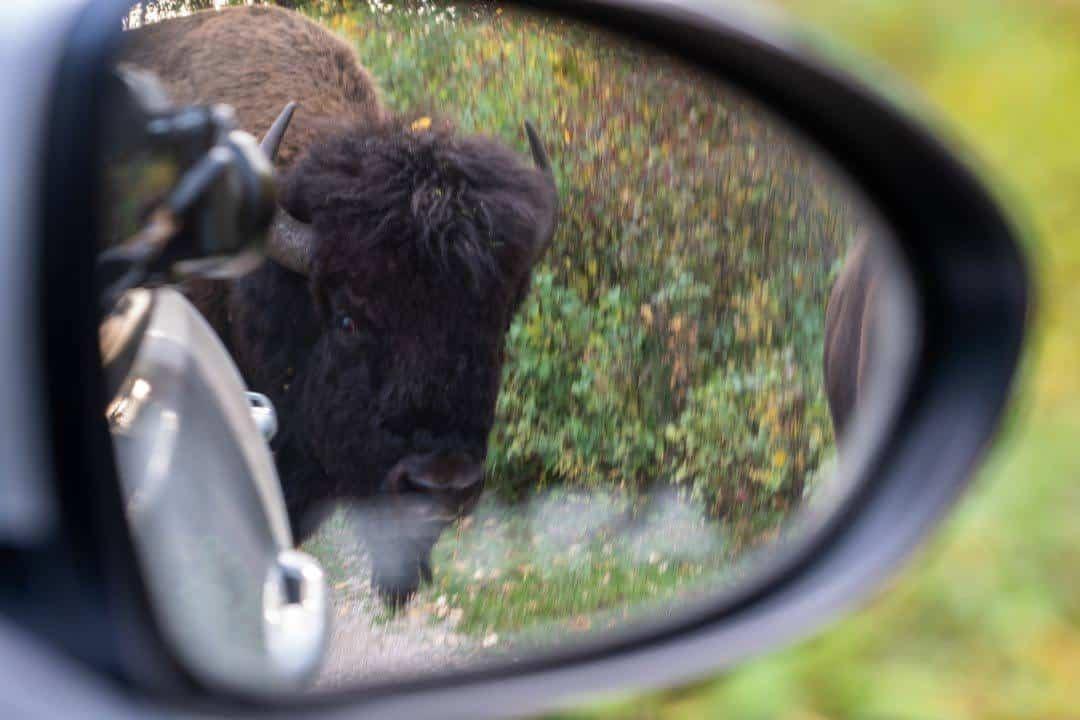 Bison In Mirror