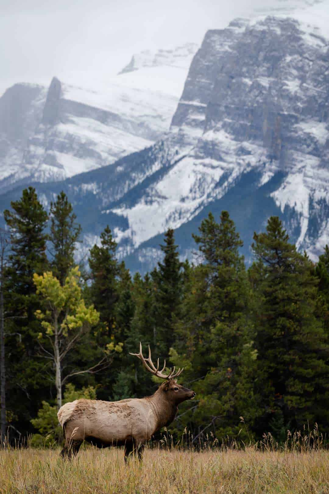 Caribou Banff National Park
