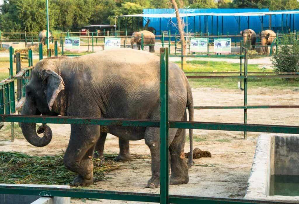 Elephants At The Elephant Sanctuary Wildlife SOS In Mathura India.