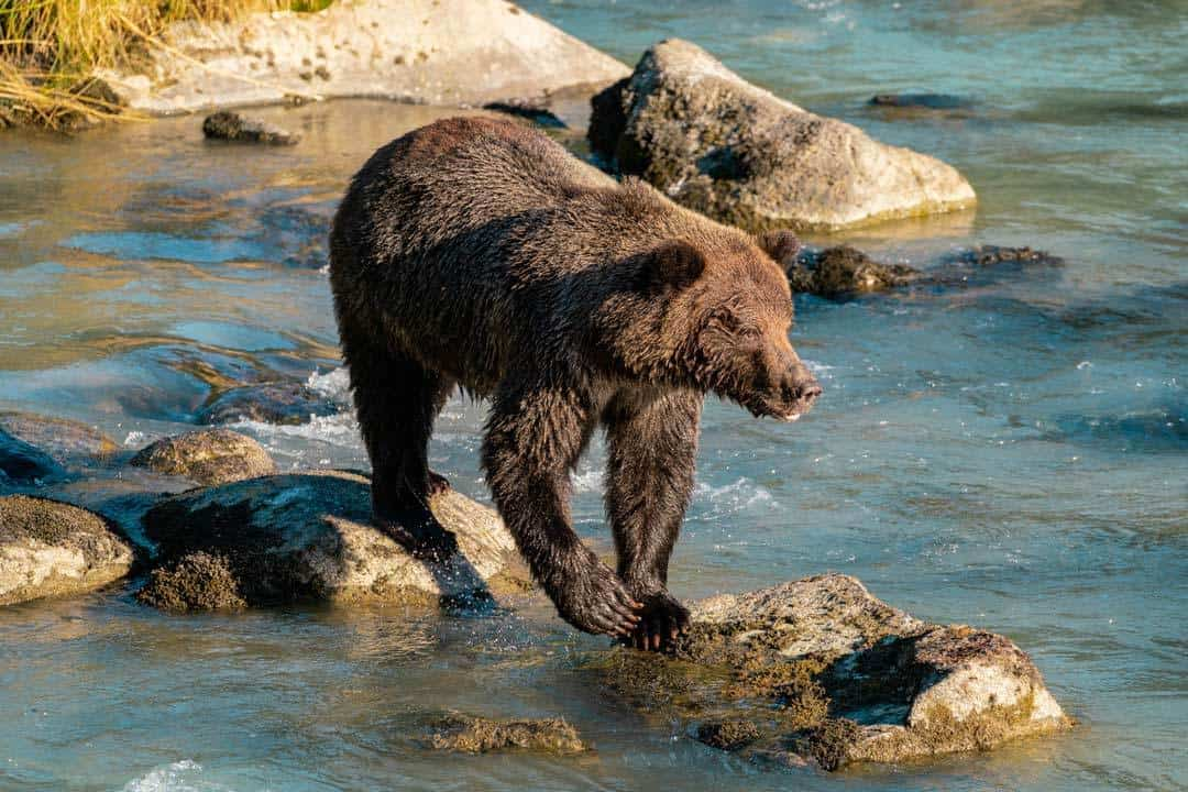 Chilkoot Lake Grizzly Bears