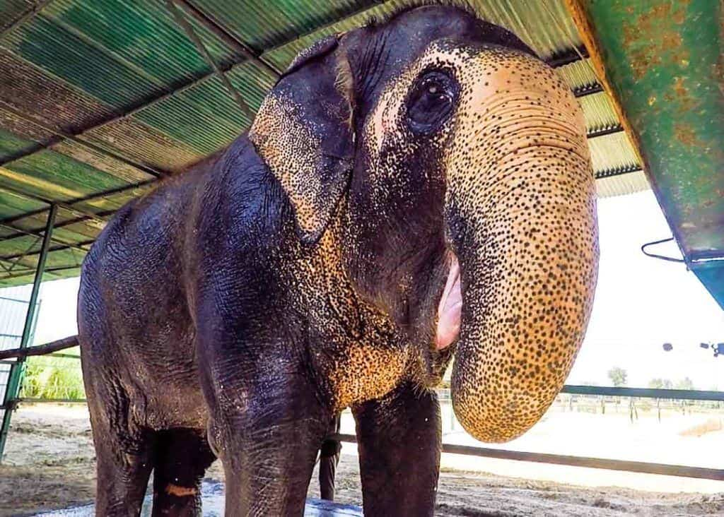 Happy Elephant, Happy Elephant Elephant Experience At Wildlife SOS.