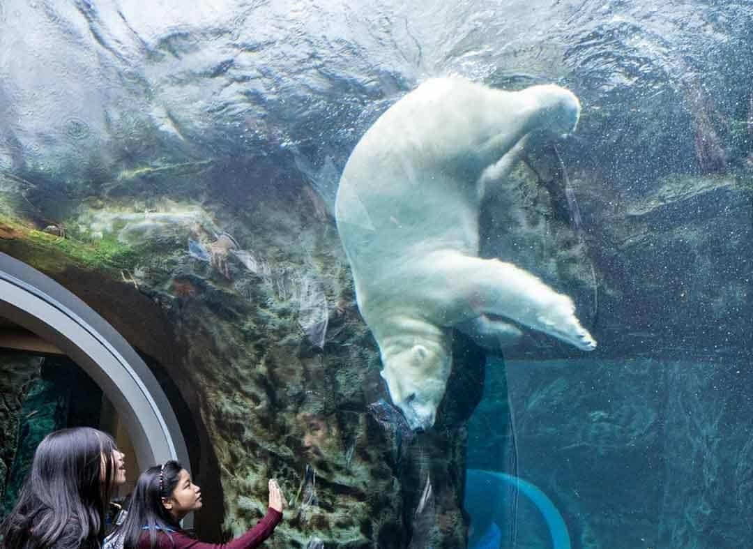 Polar Bear Assiniboine Park Zoo