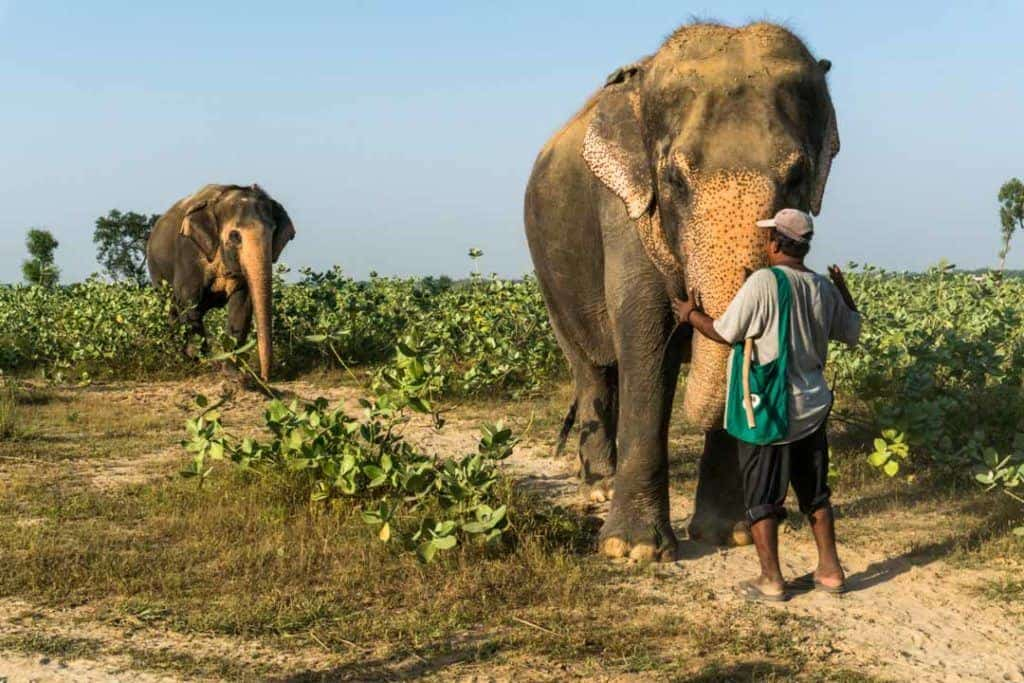 Keeper Interacts With Elephants At Elephant Charity Wildlife SOS India.