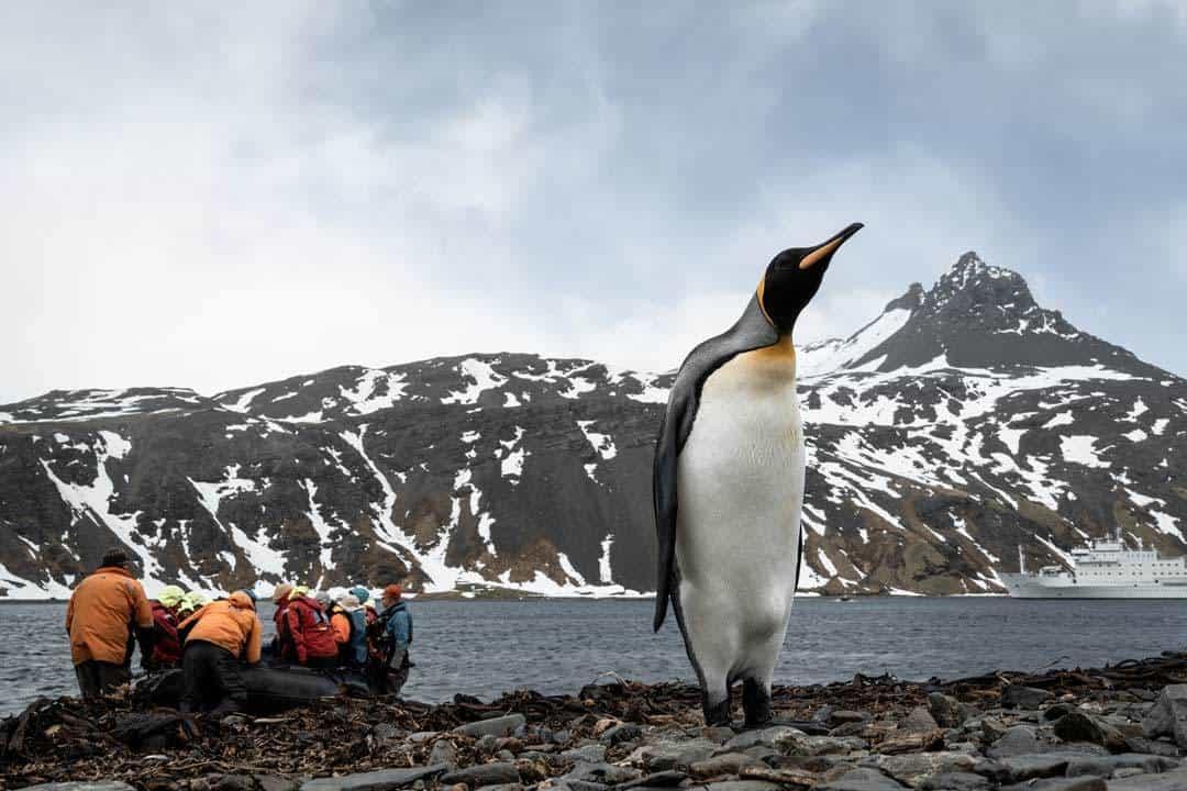 King Penguin Grytviken South Georgia
