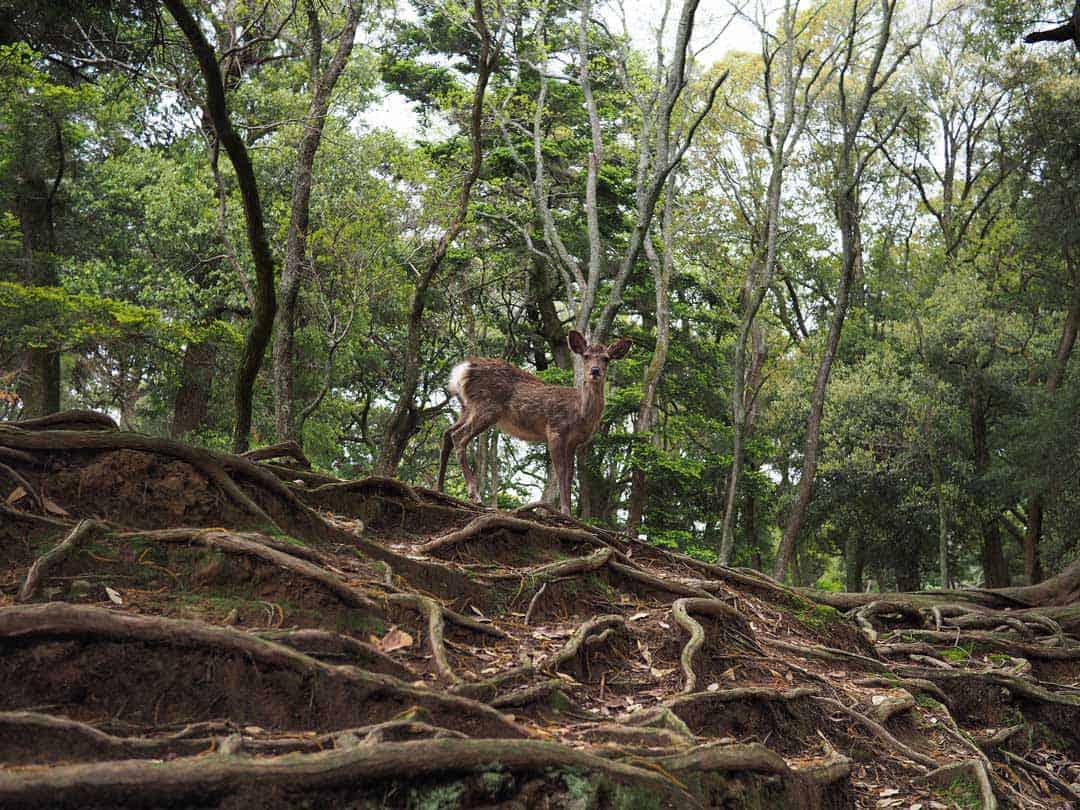 Deer, Nara Park, Japan, Nara, Woods