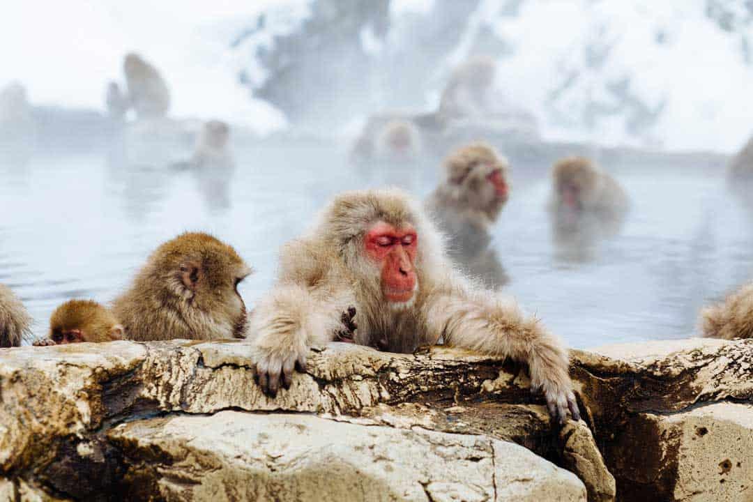 Snow Monkey, Japan, Kyoto, Iwatayama