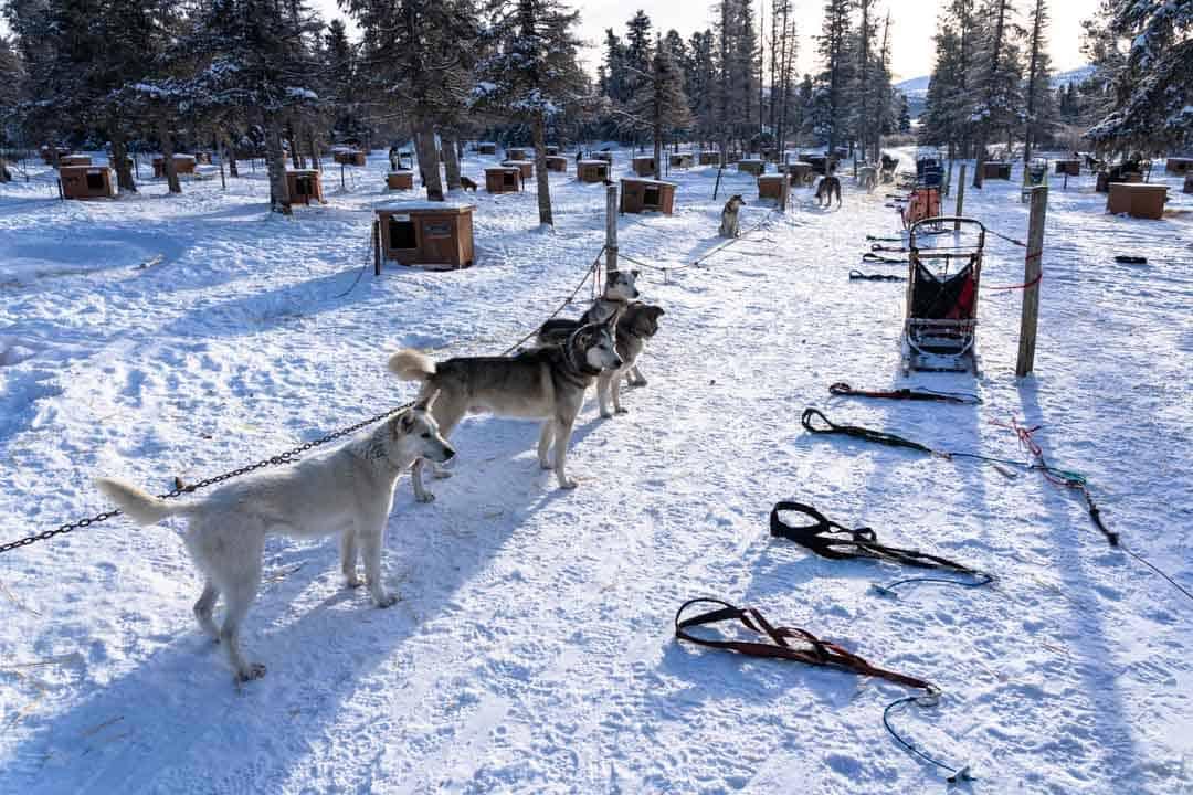 Gang Line Dog Sledding In Yukon