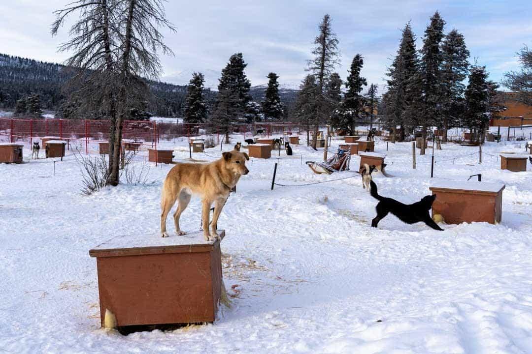 Sky High Dog Yard Sledding In Yukon