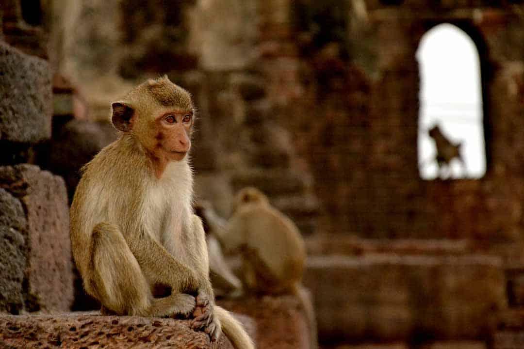 Lopburi, Thailand, Monkey