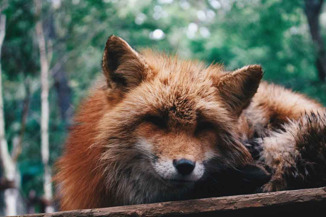 Fox, Japan, Zao Fox Village