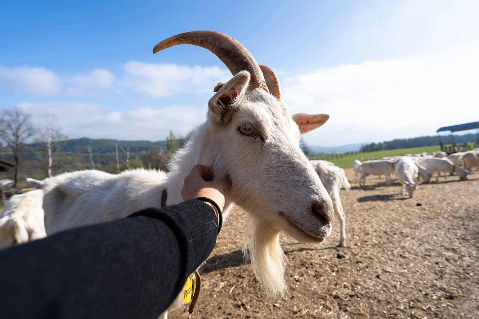Goat Farm South Bohemia Itinerary