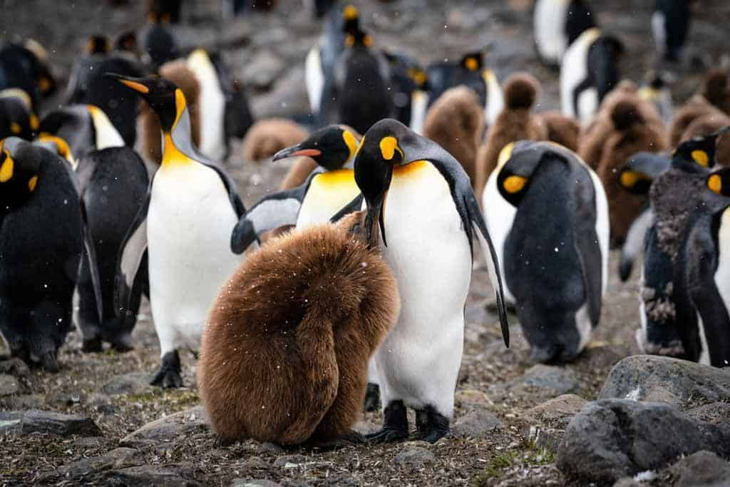 King Penguin Chick Time To Visit South Georgia