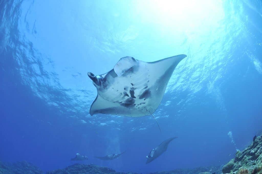 Manta Rays Okinawa
