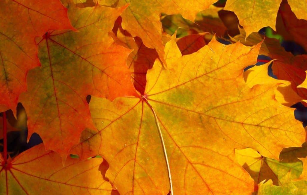 Korankei Maple Leaves