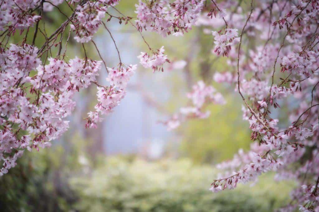 Cherry Blossoms Nara Japan