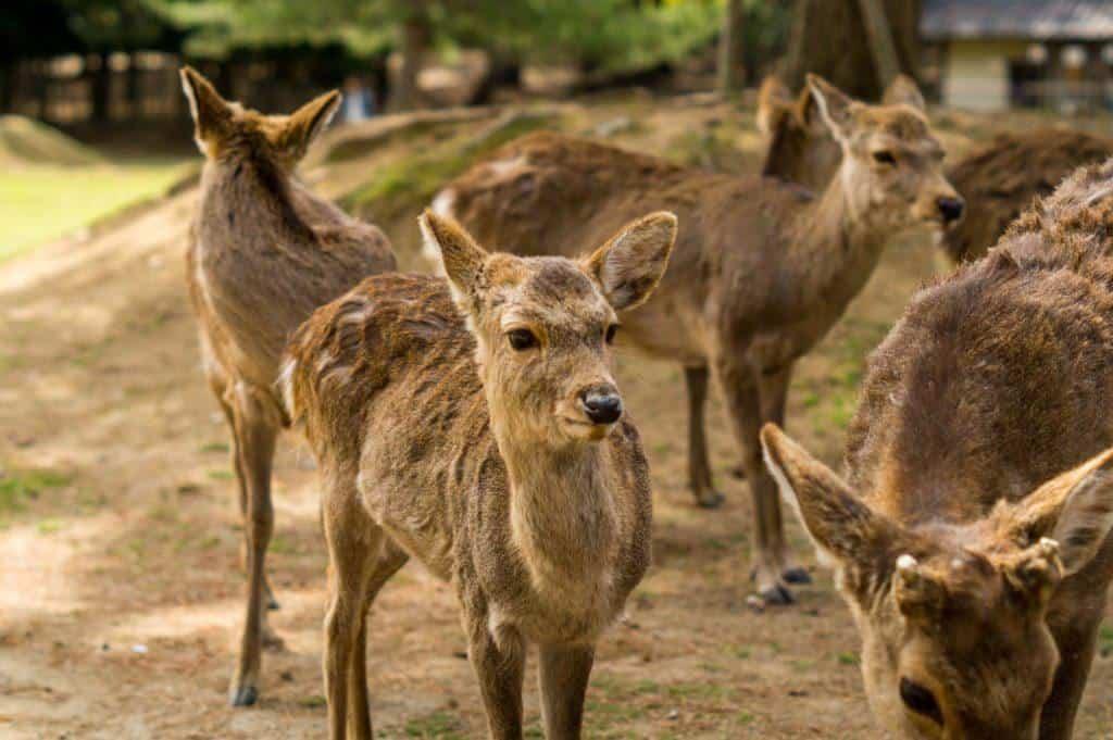 What To Do In Nara Japan Deer
