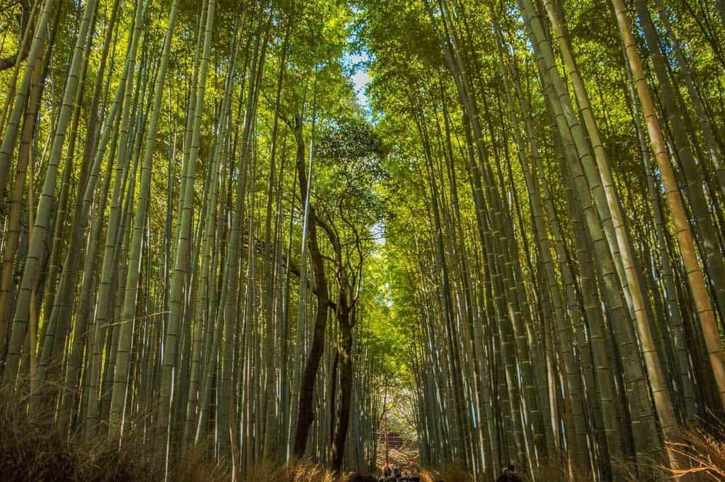 Kyoto Itinerary Bamboo Forest Path