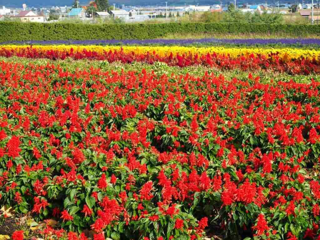 Flowers At Farm Tomita