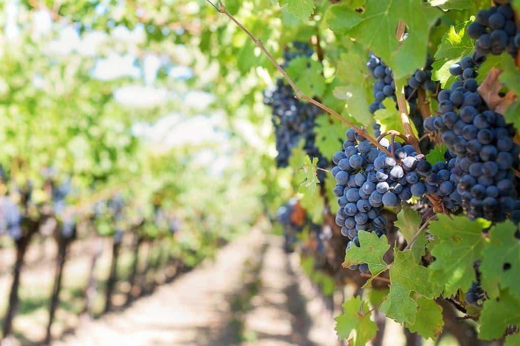 Vineyards Outside Adelaide