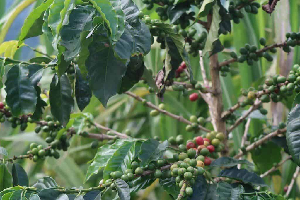 coffee tree in colombia coffee region