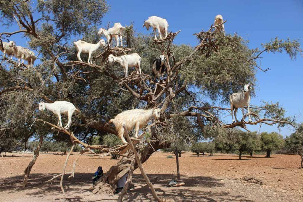 essaouira goats in trees