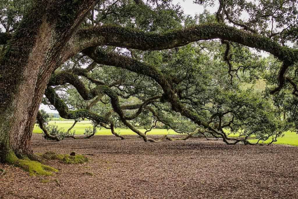 Live oaks new orleans