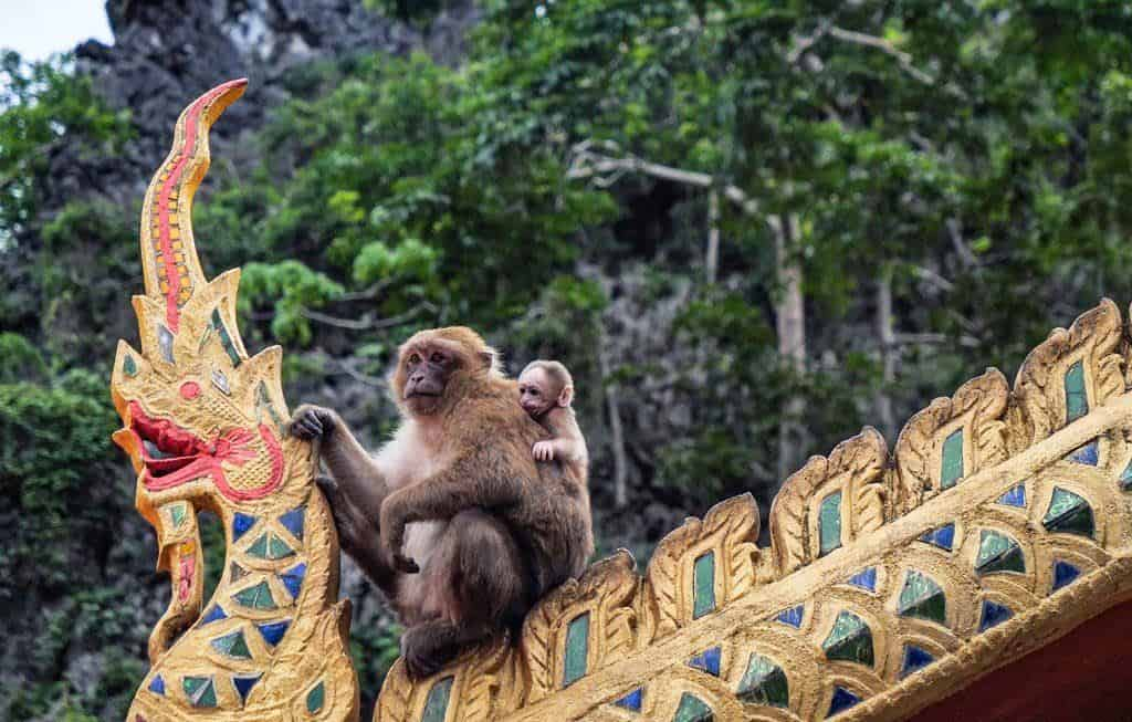 Monkeys In Chiang Rai