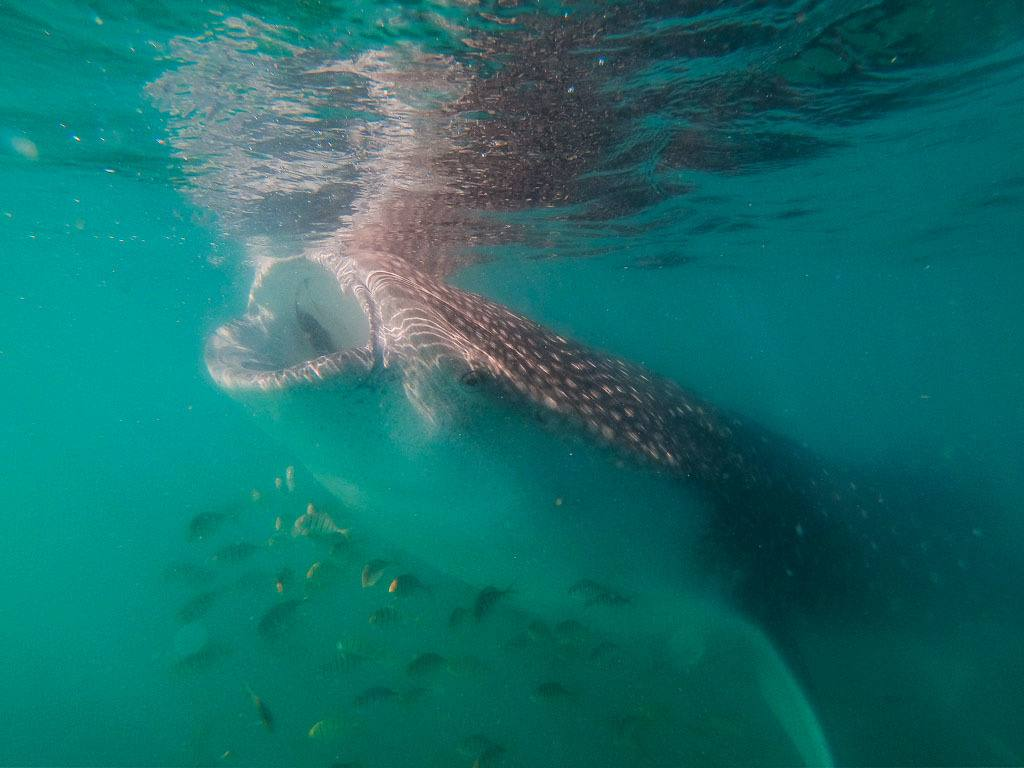 Whale Shark Feeding In La Paz