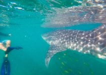A Responsible Guide to Swimming with Whale Sharks in La Paz, Mexico